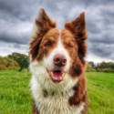 Dog: Rusty (Border Collie) / Owner: Andy