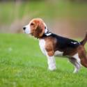 Dog: Bailey (Beagle) / Owner: Sandra